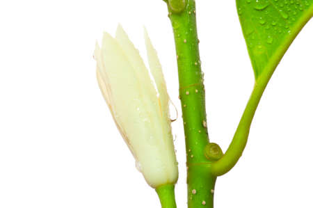 alba: White Michelia Alba ,Thailand  Stock Photo