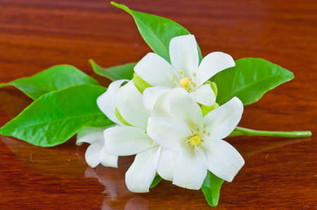white flower orange jessamine , thailand