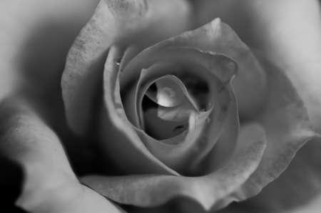 Rose flower , black and white photo
