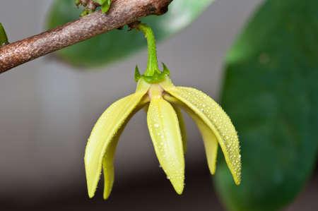 odorous: Ylang-Ylang Flowers on tree