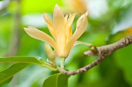 Yellow Michelia Alba Magnolia sirindhorniae Noot    Chalemglin  of thailand  Stock Photo