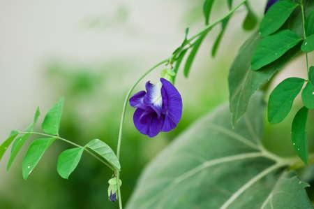 pea shrub: Butterfly pea flower in garden