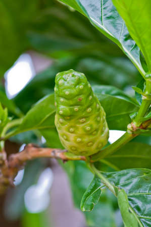 noni fruit: Noni fruit on the tree