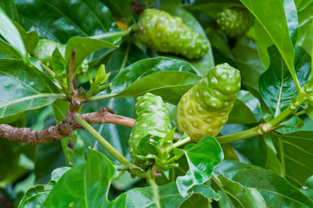 Noni fruit on the tree