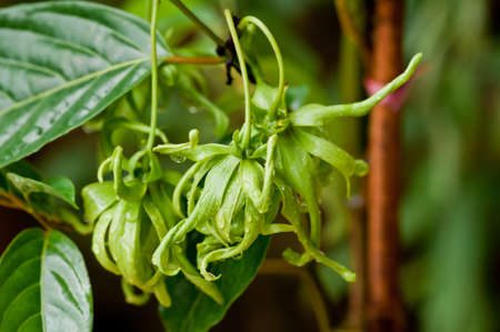 odorous: Ylang-Ylang flower on tree, for the manufacture of essential oil