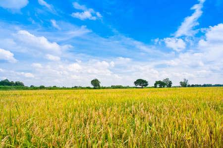 arroz chino: Campo de arroz en el cielo azul
