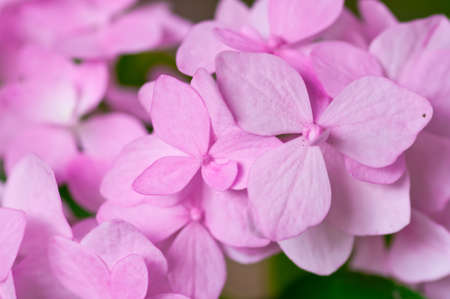 Pink Hydrangea Hortensia flower in bloom in spring  Stock Photo