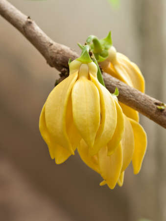 Ylang-Ylang Flowers on tree , Thailand