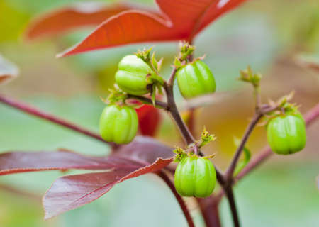 Biodiesel is produced from the seed pods of castor bean plants