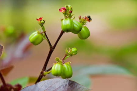 Biodiesel is produced from the seed pods of castor bean plants of thailand  photo