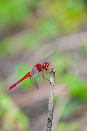 Red dragonfly in nature