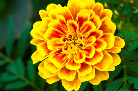 patula: Top view of French marigold flower  Tagetes patula L    Stock Photo