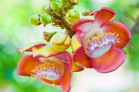 Salavan flowers is symbol of buddhism