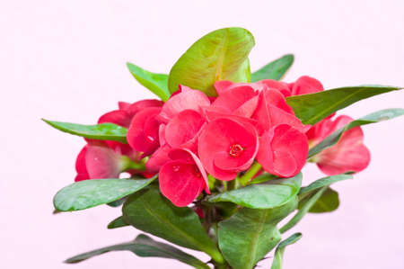 Crown of thorns flowers   Euphorbia milli Desmoul  Stock Photo