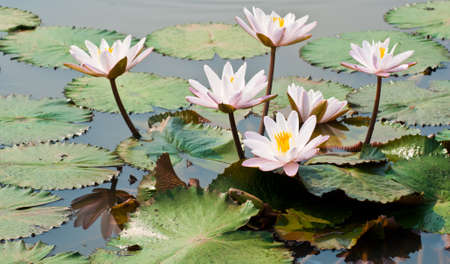 White lotus flower in a pond in natural light  photo