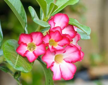 Azalea flowers of thailand Stock Photo