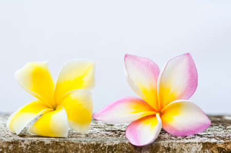 frangipani or plumeria tropical flower  photo