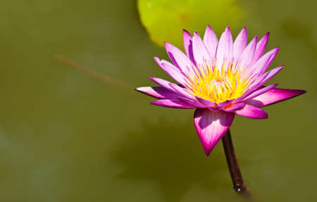 Pink lotus flower in a pond in natural light  photo