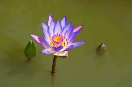 Lotus flower in a pond in natural light photo
