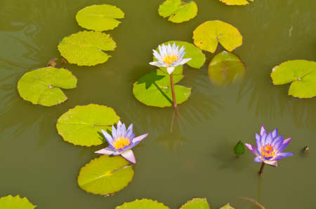 Three lotus flower in a pond in natural light photo