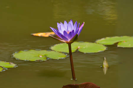 Lotus flower in a pond  photo