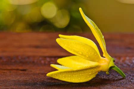 Ylang-Ylang Flower Stock Photo