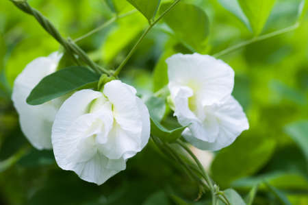 White Butterfly pea flower in garden