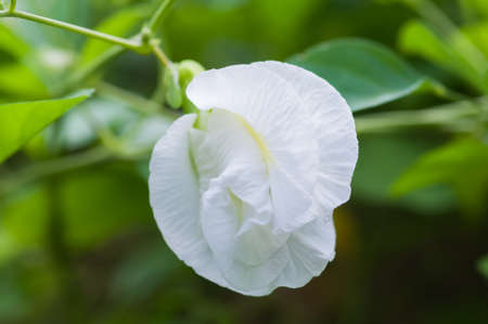 pea shrub: White Butterfly pea flower  Stock Photo