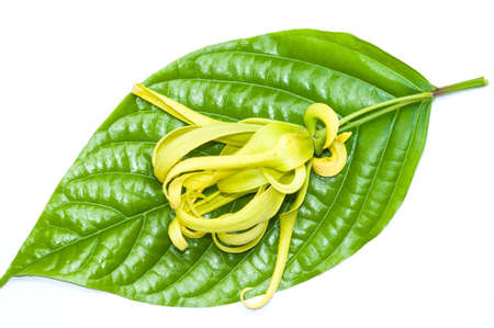 Ylang-Ylang flower on leaves