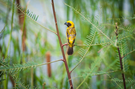 weaver bird: Asian Golden Weaver bird of Thailand
