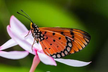 forewing: Orange butterfly on pink kopsia flower  Stock Photo