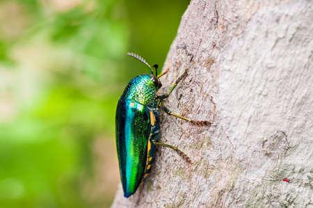 Metallic wood-boring beetle on tree