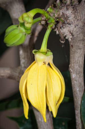 odorous: Ylang-Ylang flower on tree