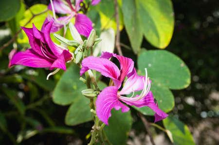 ebony tree: Purple Bauhinia on tree