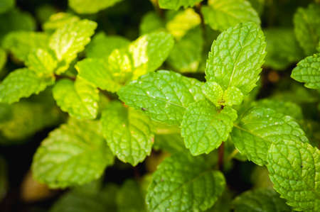 Kitchen Mint, Marsh Mint in vegetable garden  Stock Photo