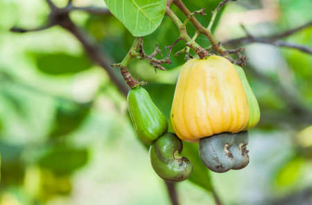 Cashew fruit  Anacardium occidentale  hanging from tree  Stock Photo