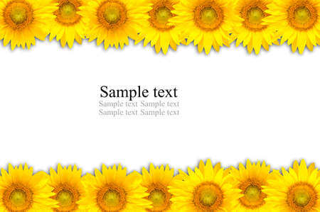 Sunflower on white background Banque d'images