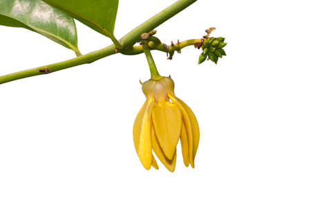 Ylang-Ylang flower Stock Photo