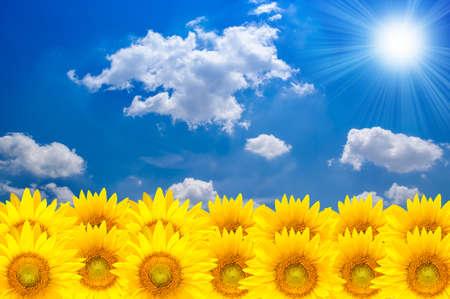 Sun flower and blue sky