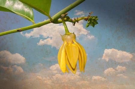 odorous: Ylang-Ylang flower Stock Photo