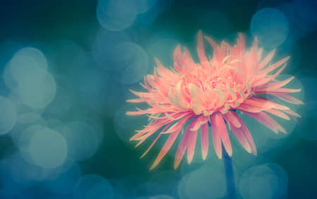 Soft focus Gerbera and bokeh vintage effect Stock Photo