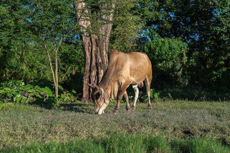 graze: Cows graze Stock Photo