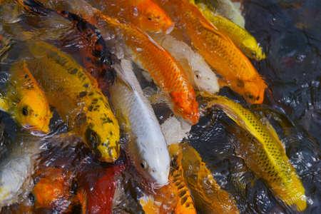 koi: fish koi Stock Photo