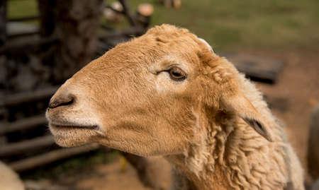 ruminant: A Sheep