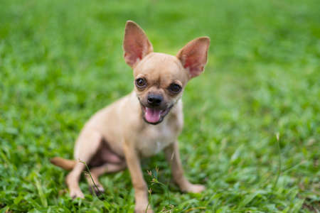 pinscher: Miniature Pinscher sitting on the front lawn and blurred background
