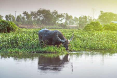 Búfalo de pastoreo a lo largo del pantano. Foto de archivo - 60535703