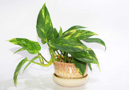 Pothos flowers in a ceramic turtle stretching isolate