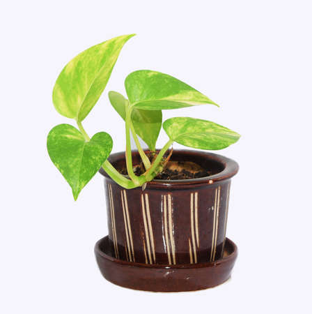 house robe: Pothos flowers in a ceramic turtle stretching isolate