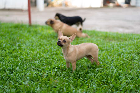 Miniature Pinscher on the front lawn and blurred background Stock Photo