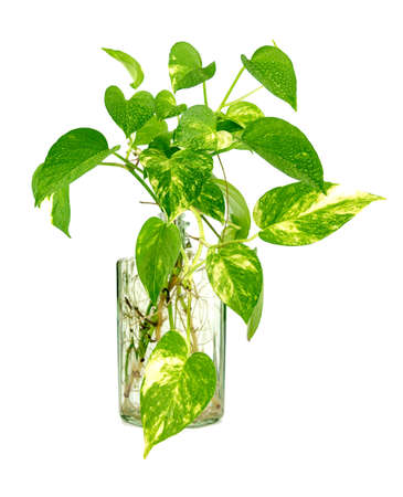 Golden pothos grown in clear glass bottles.